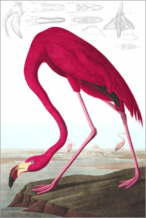 Alubild  Kubaflamingo aus The Birds of America - John James Audubon