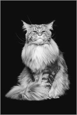 Premium-Poster Maine-Coon-Kater