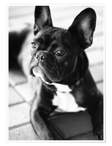falko follert franz sische bulldogge poster online bestellen posterlounge. Black Bedroom Furniture Sets. Home Design Ideas