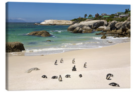 Leinwandbild  Pinguine am Boulders Beach - Paul Thompson