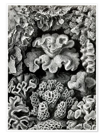 Ernst Haeckel - Hexacoralla 69