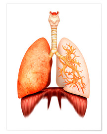 Stocktrek Images - Anatomy of human respiratory system, front view.