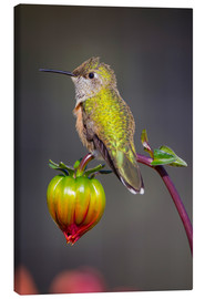 Leinwandbild  USA, Colorado. Hummingbird rests on flower bud. Credit as: Fred Lord / Jaynes Gallery / DanitaDelimo - Fred Lord
