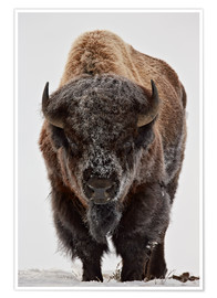 Premium-Poster  Bison im Winter - James Hager