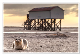 Daniel Rosch - Robbe in St Peter Ording