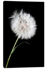 the big white dandelion