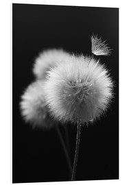 Forex  Fluffy dandelions close-up