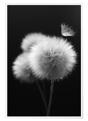 Poster Fluffy dandelions close-up