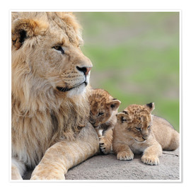 Premium-Poster  Young lions