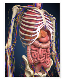 Human midsection with internal organs.