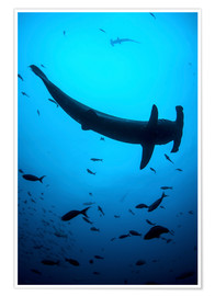 Ethan Daniels - A scalloped hammerhead shark swims near Cocos Island, Costa Rica.