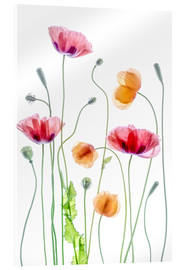 Acrylglas  Poppy Tanz - Mandy Disher