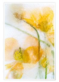 Premium-Poster  Meconopsis cambrica - Mandy Disher