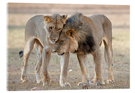 Acrylglas  African lions showing affection - Tony Camacho