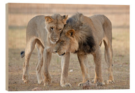 Holzbild  African lions showing affection - Tony Camacho