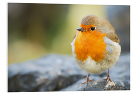 Karen Deakin - Robin, garden bird, Scotland, United Kingdom, Europe
